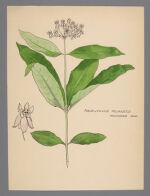 Asclepias quadrifolia (Four Leaved Milkweed)