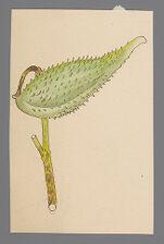 Asclepias syriaca (Common Milkweed, Purple Milkweed)