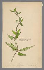 Cynanchum nigrum (Black Swallow wort)