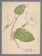 Ipomea pandurata [Ipomoea pandurata] (Wild Potato Vine)