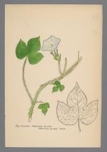 Ipomoea hederacea (Ivy Leaved Morning Glory)