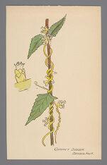 Cuscuta compacta (Compact Dodder)