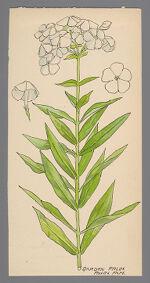Phlox paniculata (Garden Phlox)