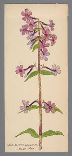 Phlox maculata (Wild Sweet William)