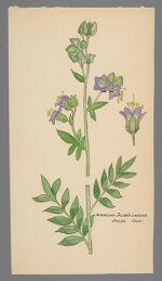 Polemonium (American Jacob's Ladder)