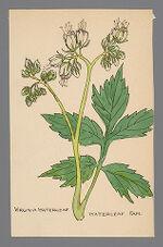 Hydrophyllum virginianum (Virginia Waterleaf)