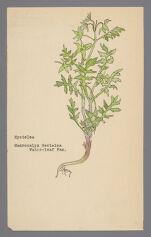 Macrocalyx nectelea [Macrocalyx nyctelea] (Nyctelea), [Ellisia nyctelea] (Aunt Lucy)