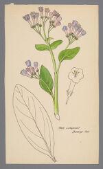 Lobaria pulmonaria (Tree Lungwort)