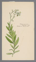 Myosotis palustris (Forget-Me-Not)