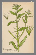 Lithospermum officinale (Gromwell)