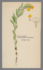 Lithospermum canescens (Hoary Puccoon)