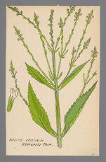 Verbena urticifolia (White Vervain)