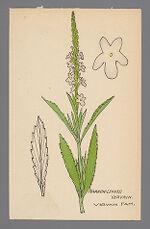 Verbena simplex (Narrow Leaved Vervain)