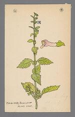Scutellaria lateriflora (Mad Dog Skullcap)