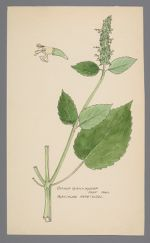 Agastache nepetoides (Yellow Giant Hyssop, Catnep Giant Hyssop)
