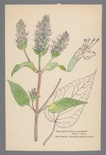 Agastache scrophulariaefolia (Purple Giant Hyssop, Figwort Giant Hyssop)
