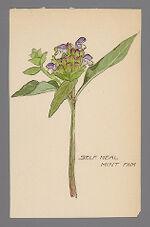 Prunella vulgaris (Self Heal)