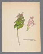 Lamium purpureum (Purple Archangel)