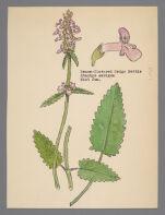 Stachys ambigua (Dense Flowered Hedgenettle) or Stachys sylvatica