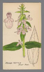Stachys (Hedge Nettle)