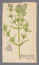 Pycnanthemum tenuifolium (Narrow Leaved Mountain Mint)