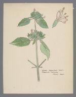 Koellia incana (Hoary Mountain Mint)