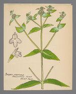 Pycnanthemum muticum (Short Toothed Mountain Mint)