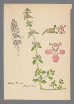 Thymus serpyllum (Wild Thyme)