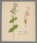 Cunila origanoides (American Dittany)