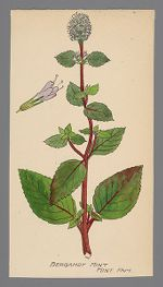 Mentha citrata (Bergamot Mint)