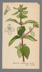 Meehania cordata (Downy Whorled Mint)