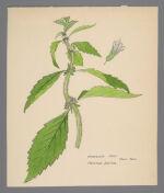 Mentha sativa (Whorled Mint)