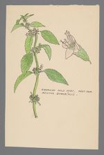 Mentha canadensis (American Wild Mint)