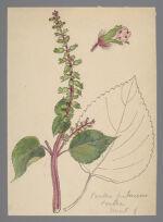 Perilla frutescens (Perilla)