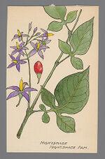 [Lycium barbarum] (Wolfberry, Nightshade)