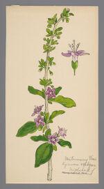 Lycium vulgare (Matrimony Vine)