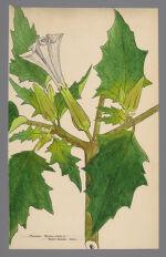 Datura stramonium (Purple Thorn Apple)