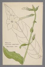Nicotiana longiflora (Longflower Tobacco)
