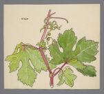 Vitis (Grape)