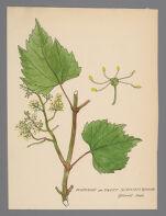 Vitis riparia (Riverside Grape, Sweet Scented Grape)