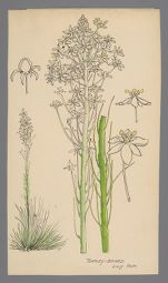 Xerophyllum asphodeloides (Turkey-Beard)