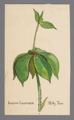 Medeola virginiana (Indian Cucumber)