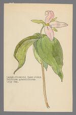 Trillium grandiflorum (Large-flowered Wake-Robin)