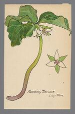 Trillium cernuum (Nodding Trillium)