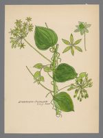 [Smilax herbacea] (Carrion Flower)
