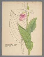 "Cypripedium reginae (Showy Lady's Slipper), labeled ""Miss Fries - Richfield"""