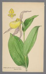 Cypripedium pubescens (Large Yellow Ladies Slipper)