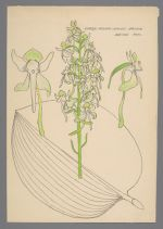 Platanthera orbiculata (Large Round-leaved Orchis)