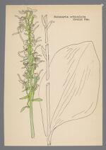 Habenaria orbiculata (Round-leaved Orchid)