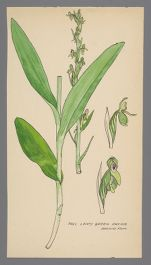 Platanthera hyperborea (Tall Leafy Green Orchid)